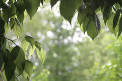 Elm Tree leaves frame or background with blur Royalty Free Stock Images