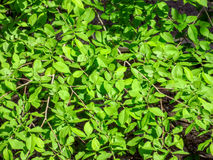 Elm-tree leaves Stock Photos