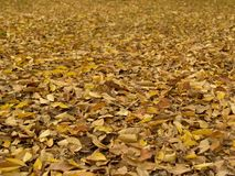 Elm tree leaves on the ground Royalty Free Stock Photo