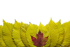 Elm Tree Leaves with Red Maple Background Stock Photo