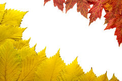 Elm Tree Leaves with Red Maple Background 2 Stock Images