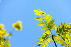 Elm tree leaves, Ulmus species Royalty Free Stock Images