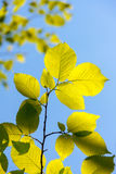 Elm tree leaves, Ulmus species Stock Image