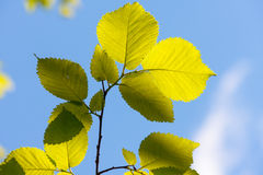 Elm tree leaves, Ulmus species Royalty Free Stock Photo