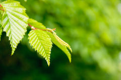 Elm tree leaves, Ulmus species Royalty Free Stock Photography