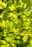 Elm tree leaves, Ulmus species Stock Images