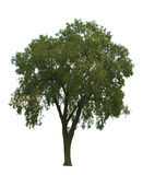 Elm Tree On White Royalty Free Stock Photography