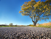 Elm tree on the road side Stock Photography
