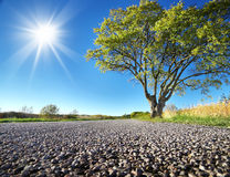 Elm tree on the road side Royalty Free Stock Photography