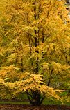 Elm tree showing autumn colors Royalty Free Stock Photos