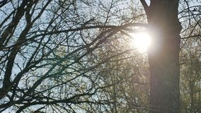 Elm tree silhouette sun glare forest landscape nature sunlight stock footage