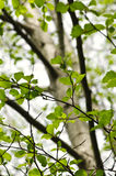 Elm tree in spring. Green elm leaves and branches in spring stock photography