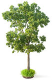 Elm tree Stock Images