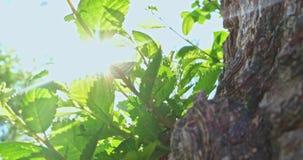 Elm tree twigs in 4K. Elm tree twigs tilt shot in 4K stock video