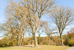 Elm Trees. A circle of American elm, Ulmus americana, trees in winter, showing the vase like branching shape stock images