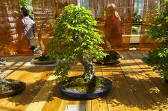 Elm Ulmus - Bonsai in the style of Royalty Free Stock Image
