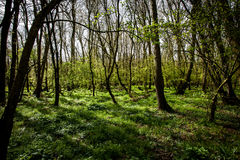 Elm woodland. Ancient elm woodland in spring sunshine stock image