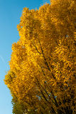 Elm with yellow foliage in autumn colouring Stock Photography