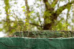 Elm young shoots grow from old concrete structure Royalty Free Stock Photos