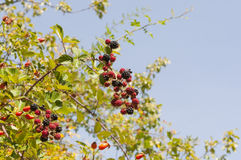 Elmleaf blackberry, Ulmus ulmifolius Stock Photography
