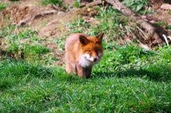 Elmo il Fox Immagine Stock