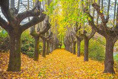 Elms lined in private home road in Autumn with foliage in Italy. Elms lined in private home road in Autumn with foliage in Italy,Europe / trees/ gate/ road / Royalty Free Stock Photo