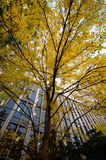Elms in university campus. At the peak of fall season Stock Photography