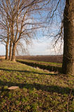 Elms waiting for harvesting. Dutch landscape in winter and some bare trees before cutting down Stock Image