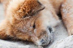 Elo小狗休眠在海滩 免版税库存照片