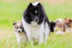 Elo母亲狗使用与她的与玩具的小狗 图库摄影