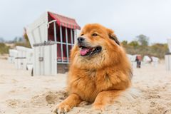 Elo dog lies at the beach. In front of hooded beach chairs Stock Photos