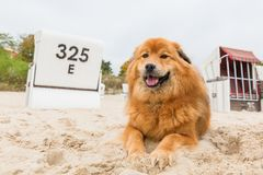 Elo dog lies at the beach. In front of hooded beach chairs Stock Photo