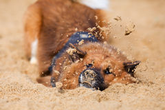 Elo dog playing with the sand Stock Photos