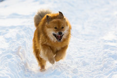 Elo dog runs in the snow. Picture of an Elo dog running in the snow stock photography
