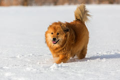 Elo Dog Walks In The Snow Royalty Free Stock Image