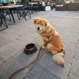 Elo dog with a water bowl in a street cafe Royalty Free Stock Photos