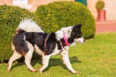 Elo-Hund, der auf den Rasen geht lizenzfreies stockbild