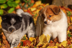 Elo puppies in autumn leaves stock photography