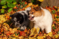 Elo puppies in autumn leaves stock photo
