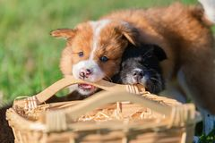 Elo puppies gnaw at a basket. Cute Elo puppies gnaw at a basket outdoors on a meadow stock photo