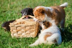 Elo puppies gnaw at a basket. Cute Elo puppies gnaw at a basket outdoors on a meadow royalty free stock photo
