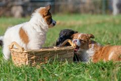 Elo puppies gnaw at a basket. Cute Elo puppies gnaw at a basket outdoors on a meadow royalty free stock images