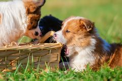Elo puppies gnaw at a basket. Cute Elo puppies gnaw at a basket outdoors on a meadow stock images