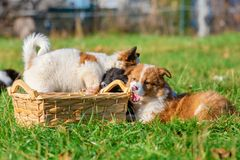 Elo puppies gnaw at a basket. Cute Elo puppies gnaw at a basket outdoors on a meadow royalty free stock photography