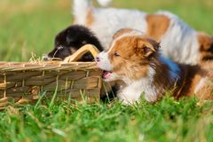 Elo puppies gnaw at a basket. Cute Elo puppies gnaw at a basket outdoors on a meadow royalty free stock image