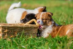 Elo puppies gnaw at a basket. Cute Elo puppies gnaw at a basket outdoors on a meadow stock image