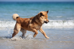 Elo puppy has fun in the water Royalty Free Stock Photos
