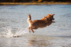 Elo puppy jumps high out of the water Stock Photography