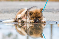 Elo puppy lies besides a puddle and licking at the water Royalty Free Stock Image