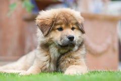 Elo Puppy Lies In The Garden Royalty Free Stock Photo